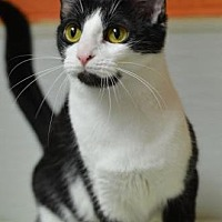 Domestic Shorthair Cat for adoption in Atlanta, Georgia - Enya 131164