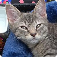 Adopt A Pet :: Pinto - Brooklyn, NY