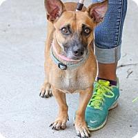Adopt A Pet :: Petey - Plano, TX