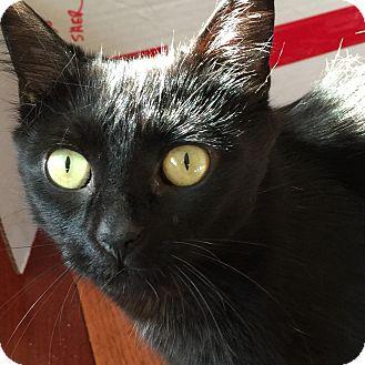 Domestic Mediumhair Cat for adoption in Toronto, Ontario - Daphne