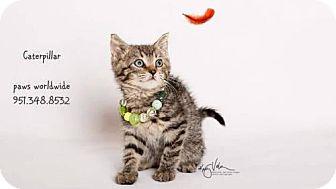 Domestic Shorthair Kitten for adoption in Corona, California - CATERPILLAR