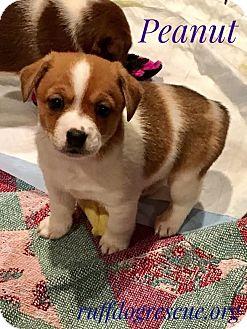 Chihuahua/Corgi Mix Puppy for adoption in Milton, Georgia - Peanut