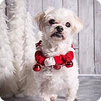 Maltese Dog for adoption in Whitby, Ontario - Rum