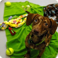Adopt A Pet :: Toffee - Portland, OR