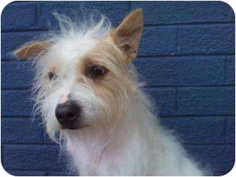 Westie, West Highland White Terrier/Terrier (Unknown Type, Small) Mix Dog for adoption in Houston, Texas - BATMAN