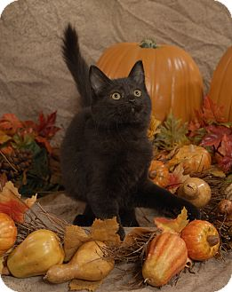 Domestic Mediumhair Cat for adoption in Union, Kentucky - Lucy