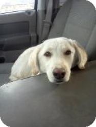 Labrador Retriever/Golden Retriever Mix Puppy for adoption in Las Vegas, Nevada - Cali