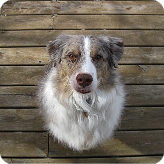 Australian Shepherd Dog for adoption in Minneapolis, Minnesota - Pheonix