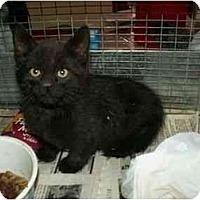 Adopt A Pet :: Ink - Sierra Vista, AZ