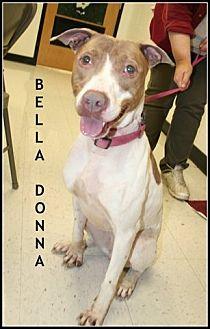 German Pinscher/Pit Bull Terrier Mix Dog for adoption in Houston, Texas - Bella Donna