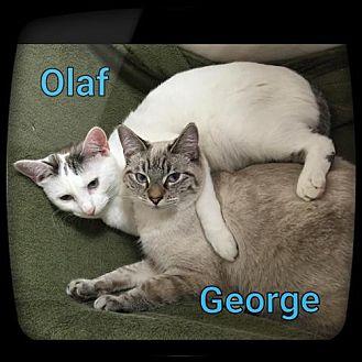 Domestic Shorthair Cat for adoption in Atlanta, Georgia - Olaf150248