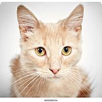 Adopt A Pet :: Marshmallow - New York, NY