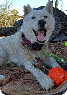 Husky Dog for adoption in Van Nuys, California - Royce