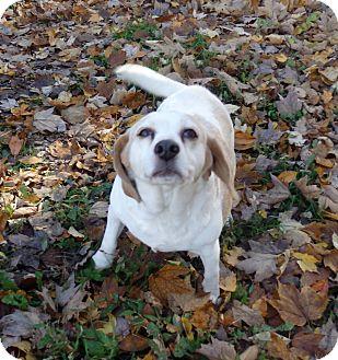 Beagle Dog for adoption in Transfer, Pennsylvania - Princess