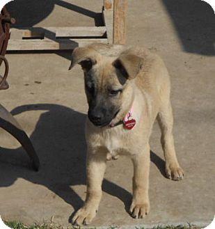 German Shepherd Dog/Belgian Malinois Mix Puppy for adoption in Torrance, California - WHITNEY