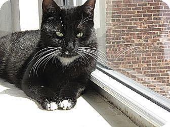 Domestic Shorthair Cat for adoption in Brooklyn, New York - Maxine, Ninja Cutie