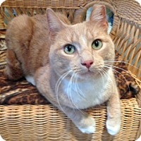 Domestic Shorthair Cat for adoption in Staten Island, New York - Harry and Finn