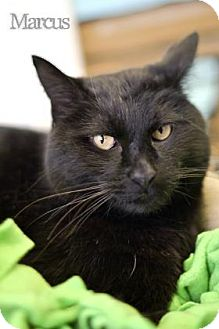 Domestic Shorthair Cat for adoption in West Des Moines, Iowa - Marcus