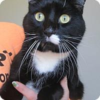 Domestic Shorthair Cat for adoption in Menomonie, Wisconsin - Kemps