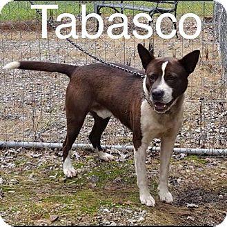 Akita Mix Dog for adoption in Garner, North Carolina - Tabasco