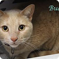Domestic Shorthair Cat for adoption in Bradenton, Florida - Buddy