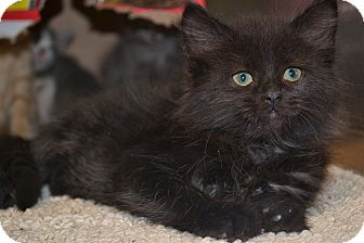 Domestic Mediumhair Kitten for adoption in Beaumont, Texas - Mayflower