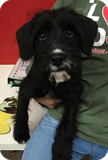 Wirehaired Fox Terrier Mix Puppy for adoption in Centerville, Georgia - Cersei