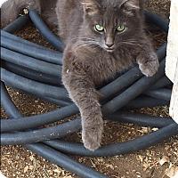 Adopt A Pet :: GRAYSON 2 - Houston, TX
