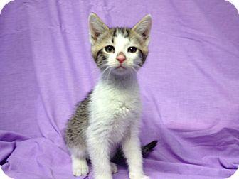 Domestic Shorthair Kitten for adoption in Orlando, Florida - Winston