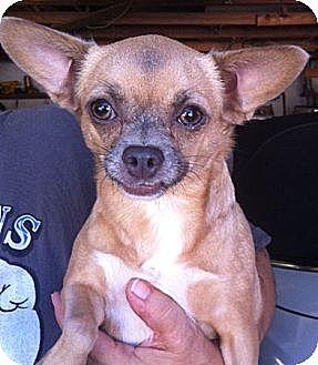 Chihuahua Dog for adoption in Studio City, California - Camelia