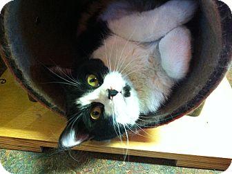 Domestic Shorthair Cat for adoption in Topeka, Kansas - Desi