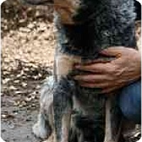 Adopt A Pet :: Cowboy-NEEDS FOSTER HOME - Seattle, WA