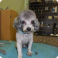 Adopt A Pet :: Bo - Shawnee Mission, KS