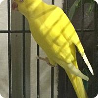 Adopt A Pet :: Punjab - Burleson, TX