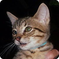 Adopt A Pet :: Brutus - Dallas, TX