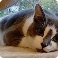 Adopt A Pet :: Calvin - St. Louis, MO