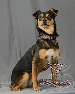 Dachshund/Rat Terrier Mix Dog for adoption in Crescent, Oklahoma - Sis