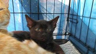 Domestic Shorthair Kitten for adoption in Dallas, Texas - Marcel