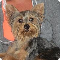 Adopt A Pet :: Little Britches - Salem, NH