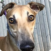 Adopt A Pet :: Fergie - Swanzey, NH
