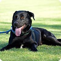 Adopt A Pet :: Rose - Phoenix, AZ
