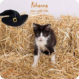 Domestic Shorthair Kitten for adoption in Corona, California - RIHANNA