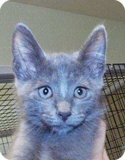 Domestic Shorthair Kitten for adoption in Grants Pass, Oregon - Dustin