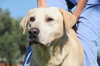 Labrador Retriever Mix Dog for adoption in Agoura Hills, California - Solo