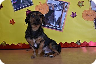 Dachshund Mix Dog for adoption in North Judson, Indiana - Russell