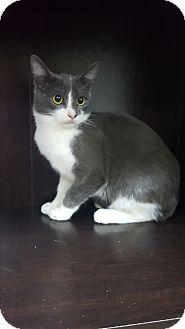 Domestic Shorthair Kitten for adoption in Albemarle, North Carolina - Dwight D Eisenhower
