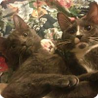 Adopt A Pet :: Brothers Lap cats - Bayside, NY