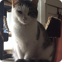 Domestic Shorthair Cat for adoption in Mt Pleasant, Pennsylvania - Eve