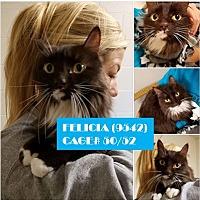 Adopt A Pet :: FELICIA - Flint, MI