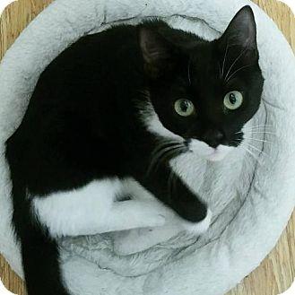 Domestic Shorthair Cat for adoption in Philadelphia, Pennsylvania - Nibbler